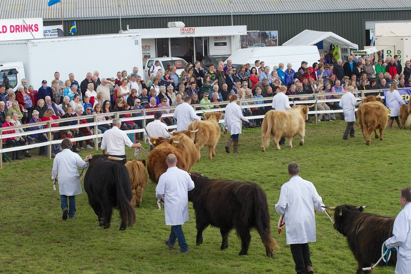 Cattle parade through the main ring at the Black Isle Show
