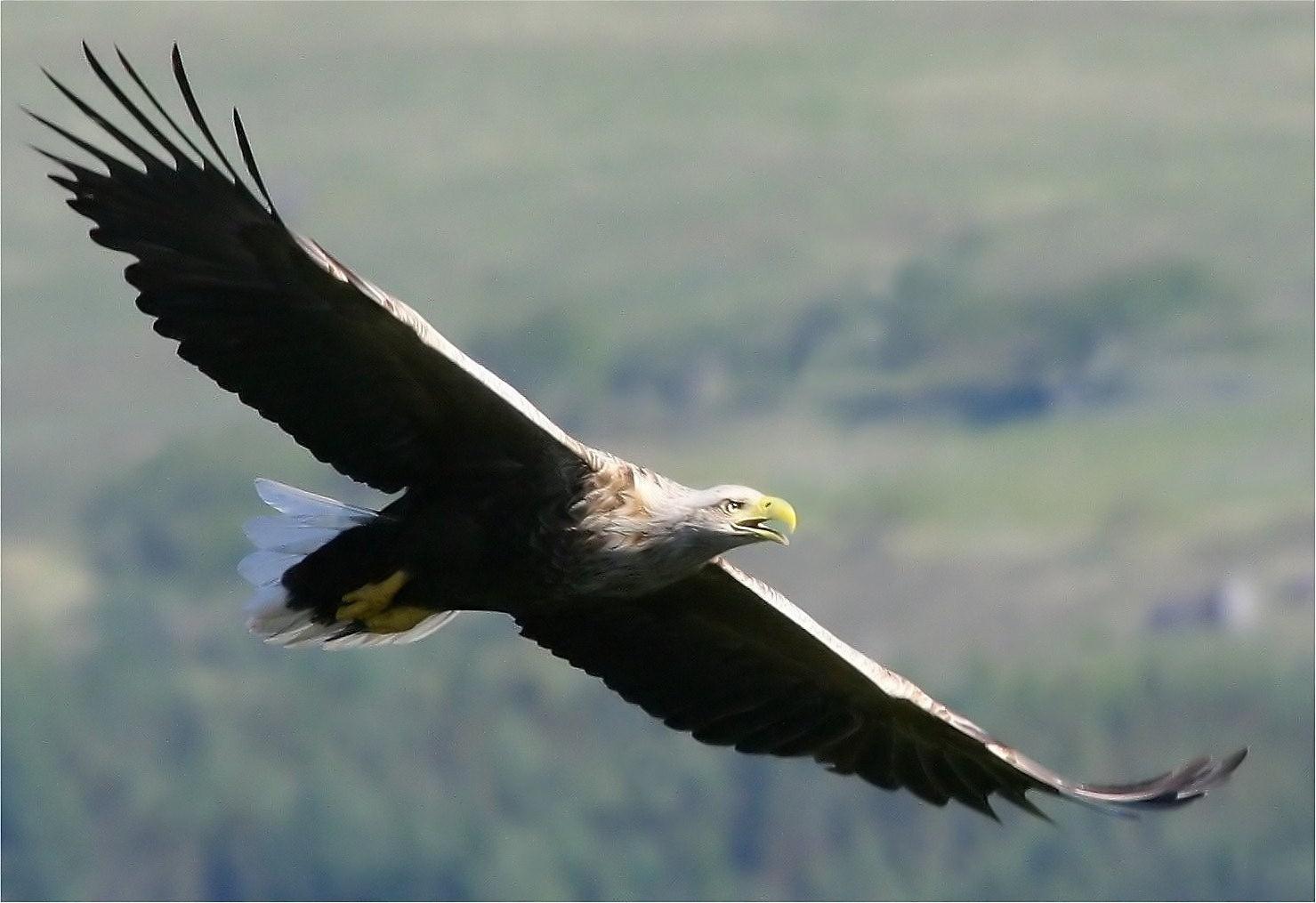 Mull's eagles