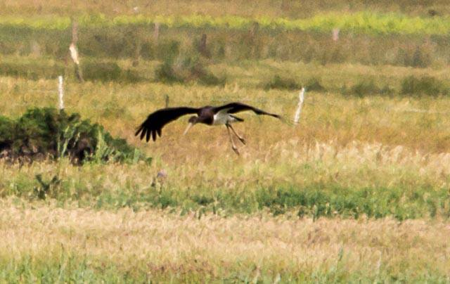 The rare bird arrived in the north-east on Thursday morning. Picture by Mike Chandler
