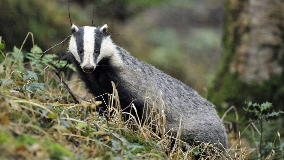 The study found badgers are more likely to give cattle TB, than cattle are to give badgers TB.