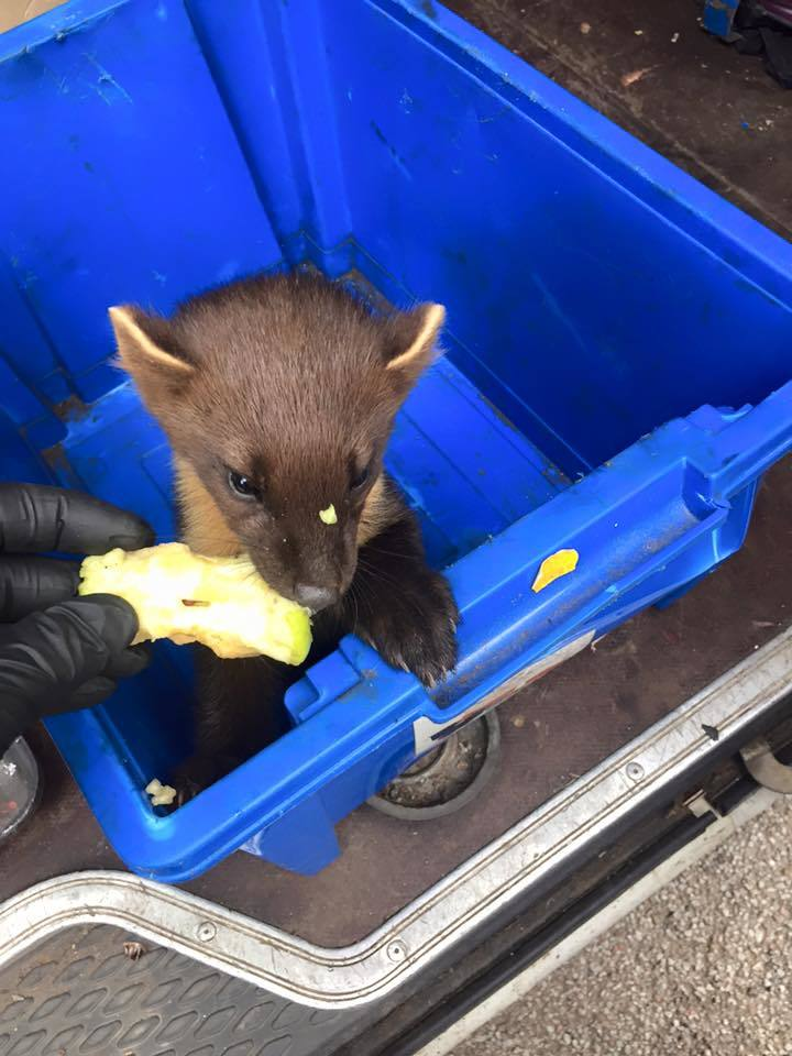 The rescued pine marten
