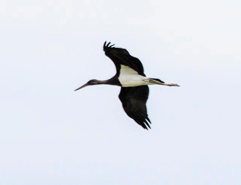 Black Stork spotted at Loch Strathbeg in Aberdeenshire