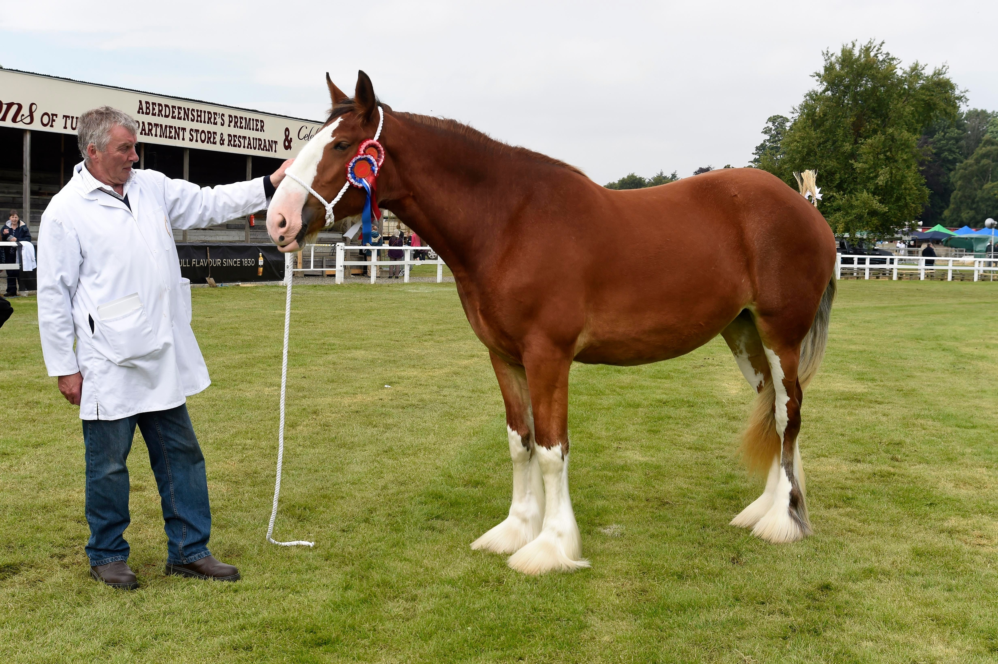 Overall Clydesdale winner  Arradoul Caolila, a 2yo filly owned by Ian Young of Buckie