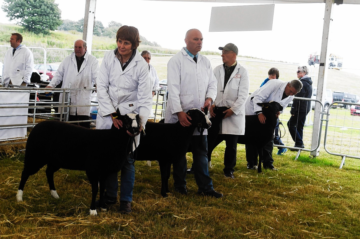 Zwartbles, pictured being judged at the Turriff Show last year, are growing in popularity.