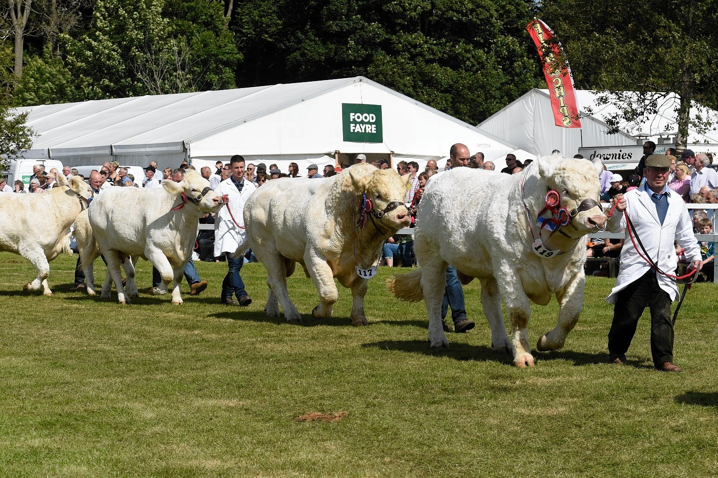 The parade of cattle