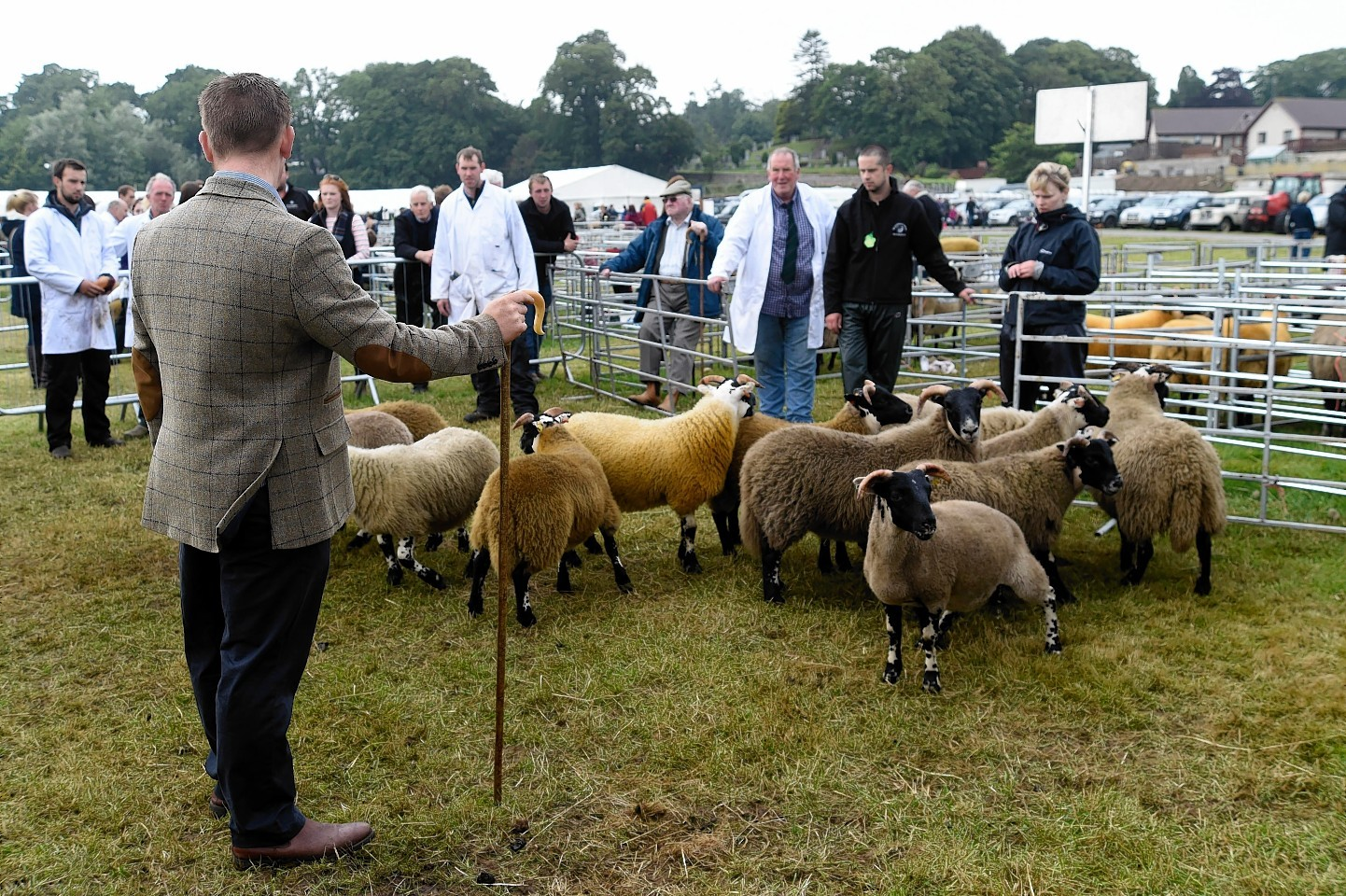 TURRIFF SHOW(DUNCAN BROWN)JUDGING THE HORNED SHEEP