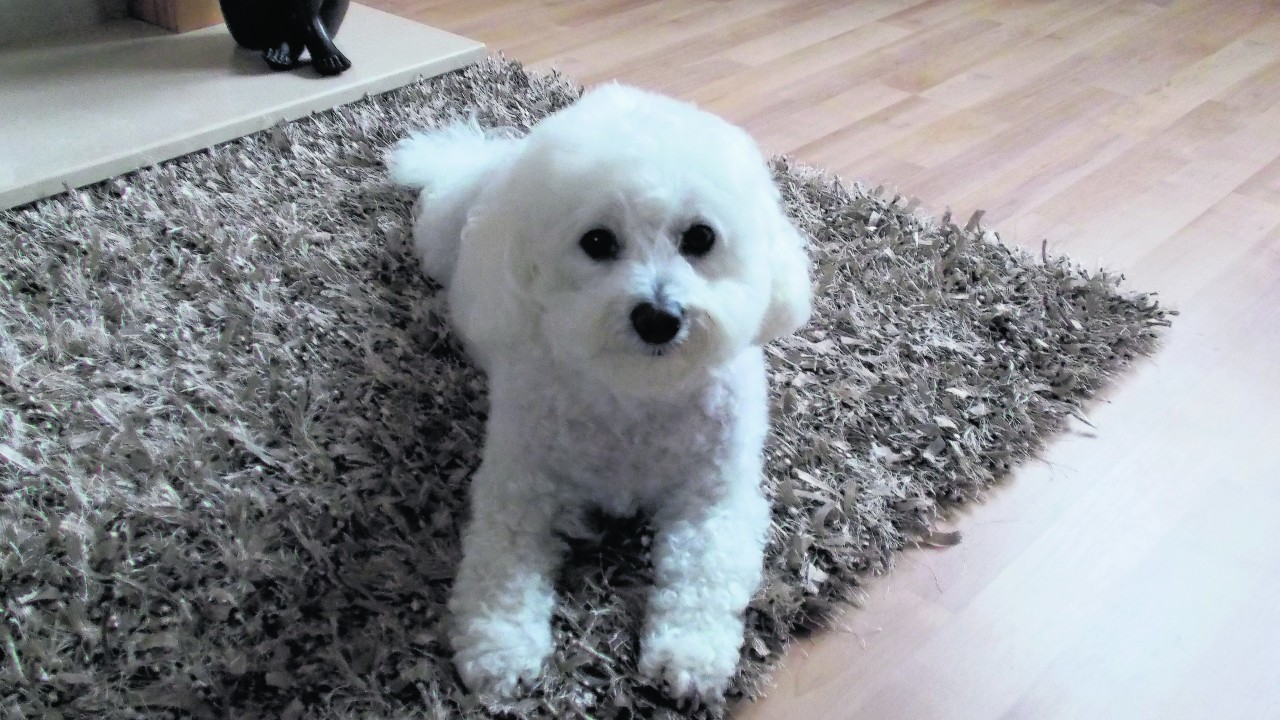 Cindy the Bichon Frise lives with Cathie Macleod in Stornoway.