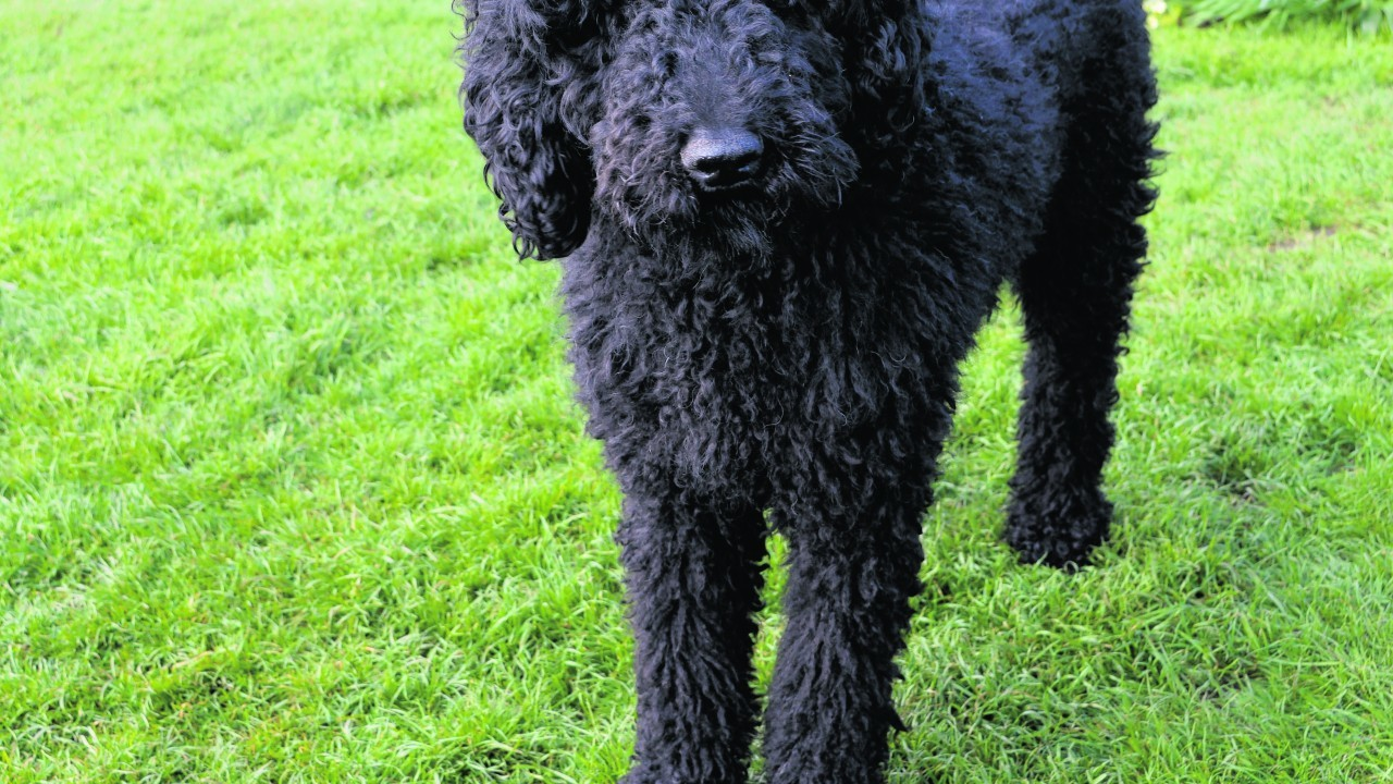 Millie the standard poodle lives with the Spackman family in Aberchirder.