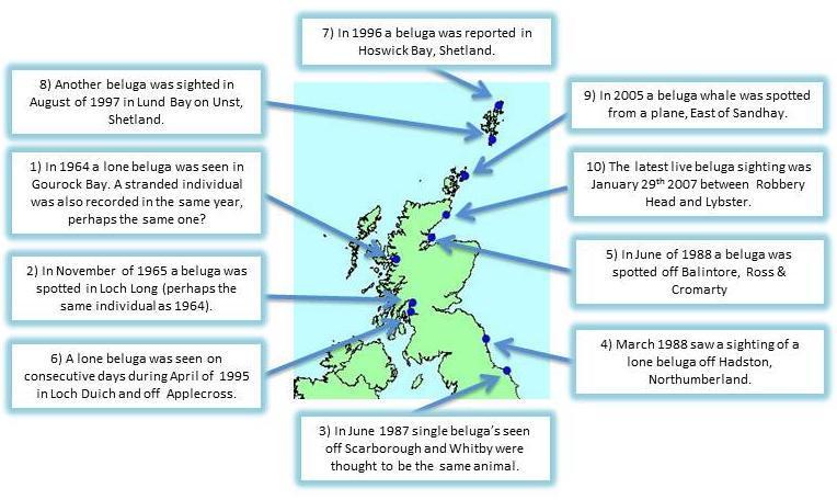 Beluga whales are rare visitors to UK waters