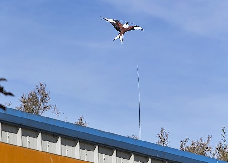 A kite of a red kite is hoped to deter the gulls