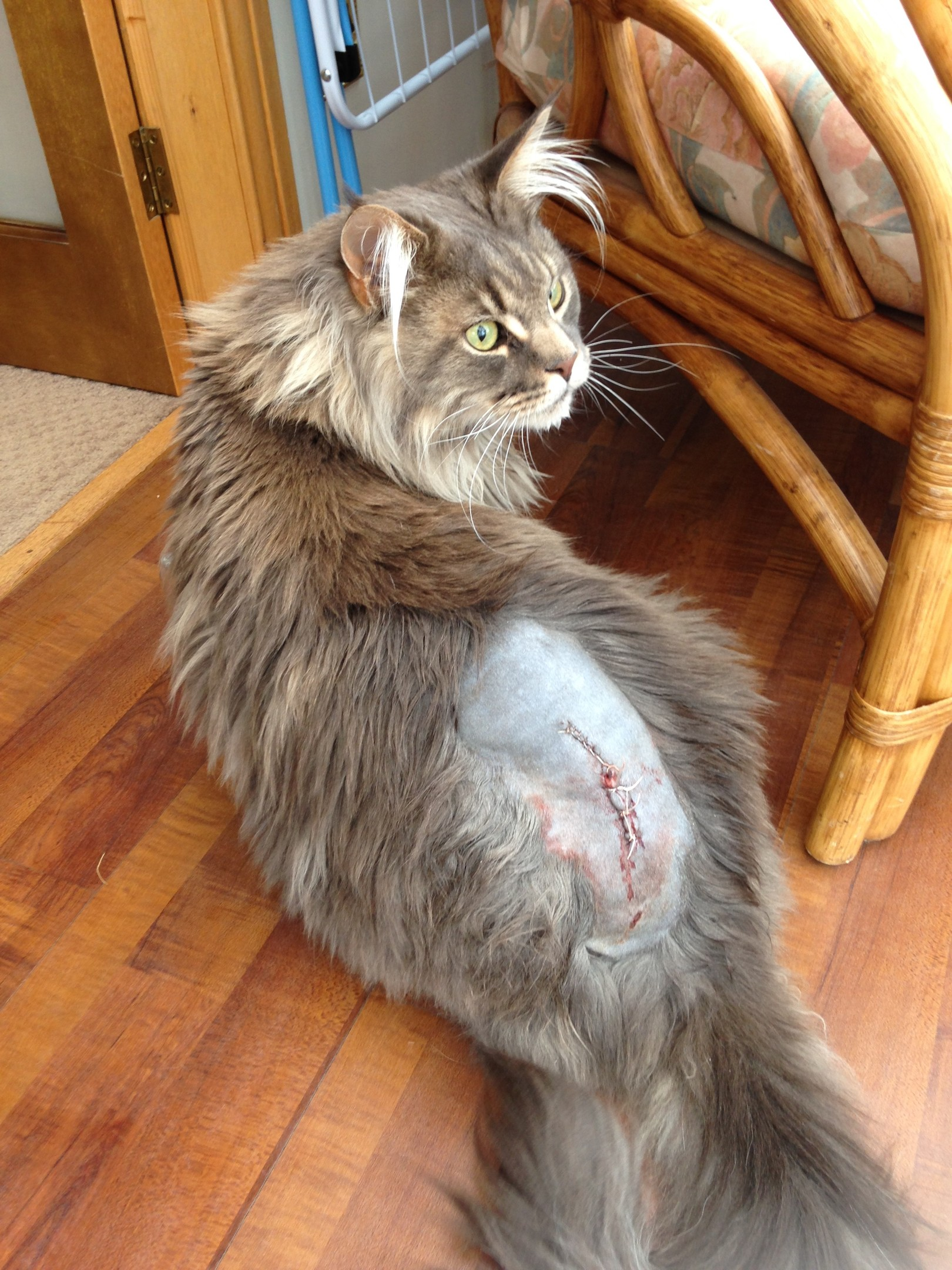 Bue the cat was shot