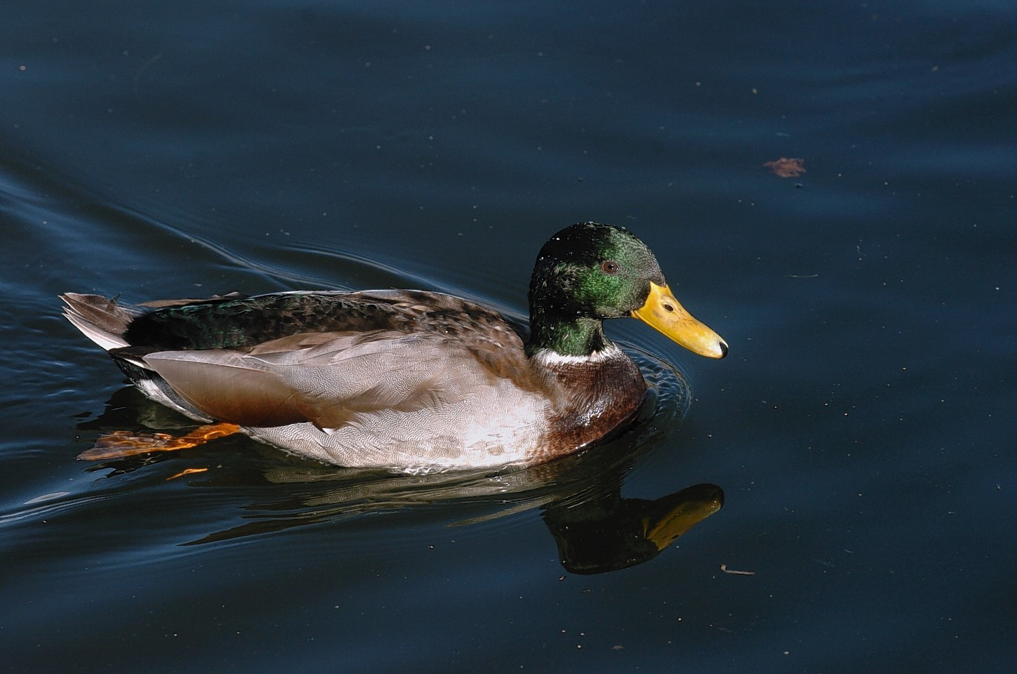 A duck was killed at Stornoway Harbour