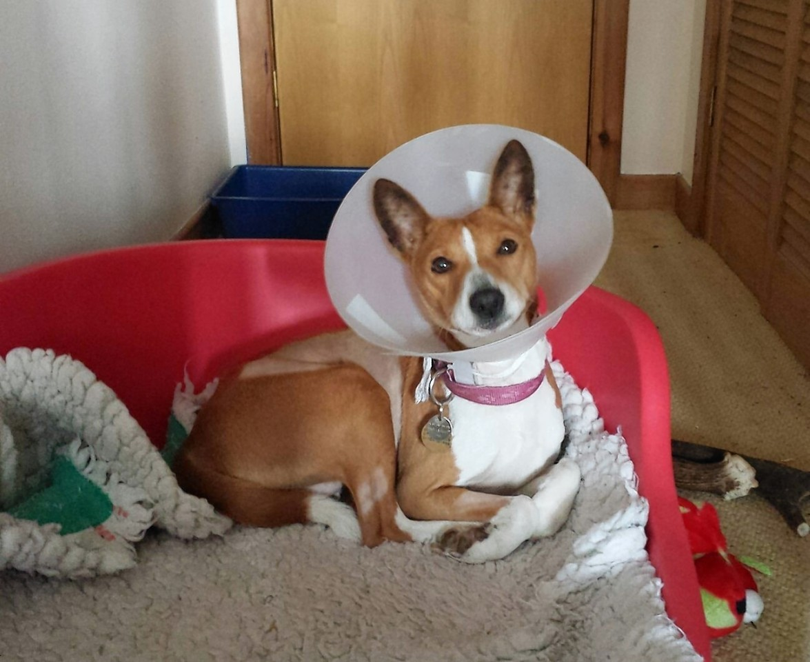 Nakura the dog recovering from surgery.