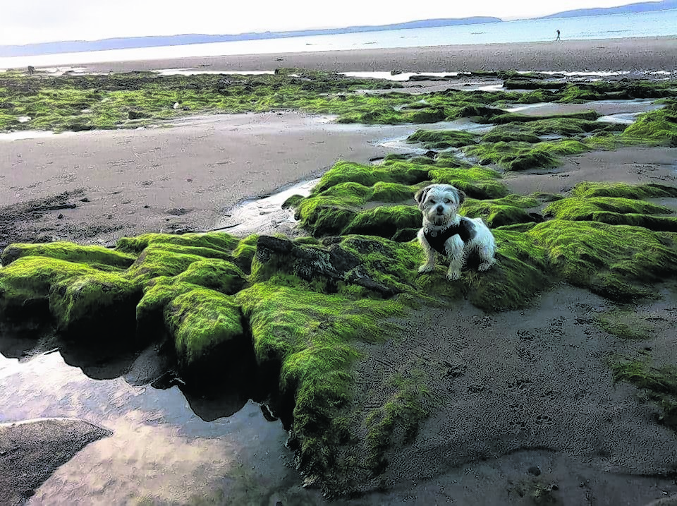 Bruce is a Maltese Yorkie mix and lives with Stevie Bremner in Staines. This photos is of of Bruce visiting his Granny in Nairn. He loves a walk on Nairn beach.