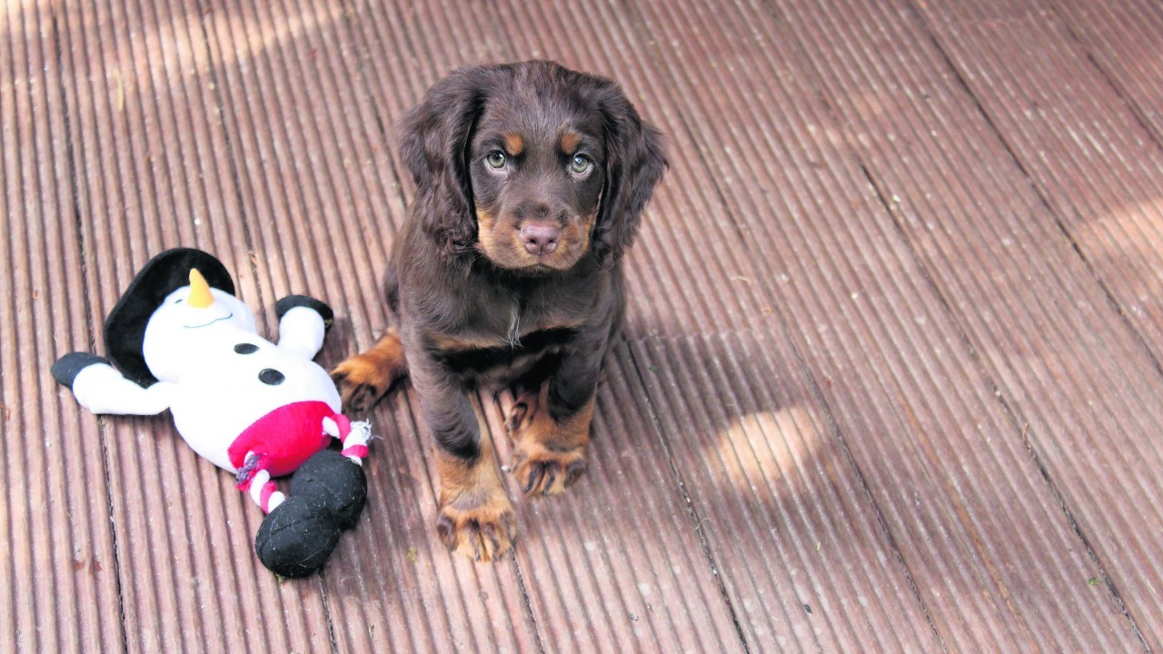 Freddy the working cocker spaniel pup lives with Nigel Levett in Kiltarlity, Inverness.