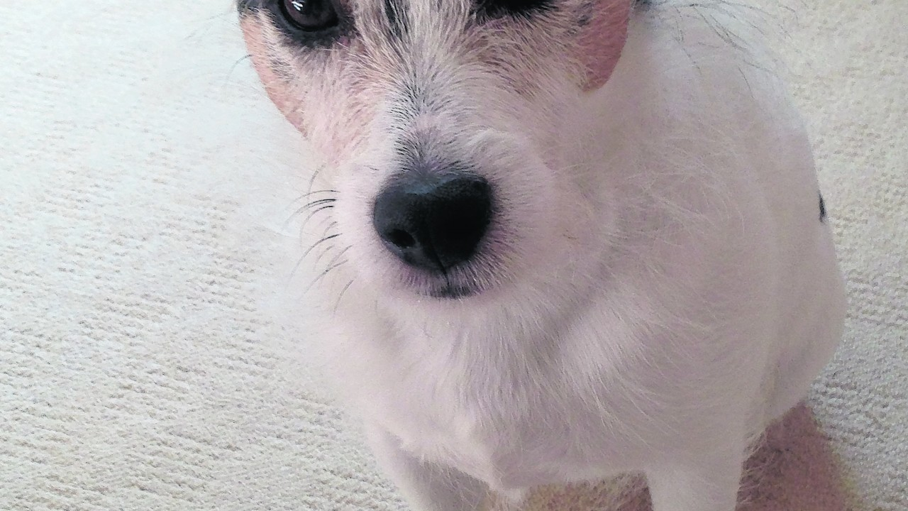 Gentleman Jock, the Parson Russell terrier, lives in Aberdeen with Allan and Judy.