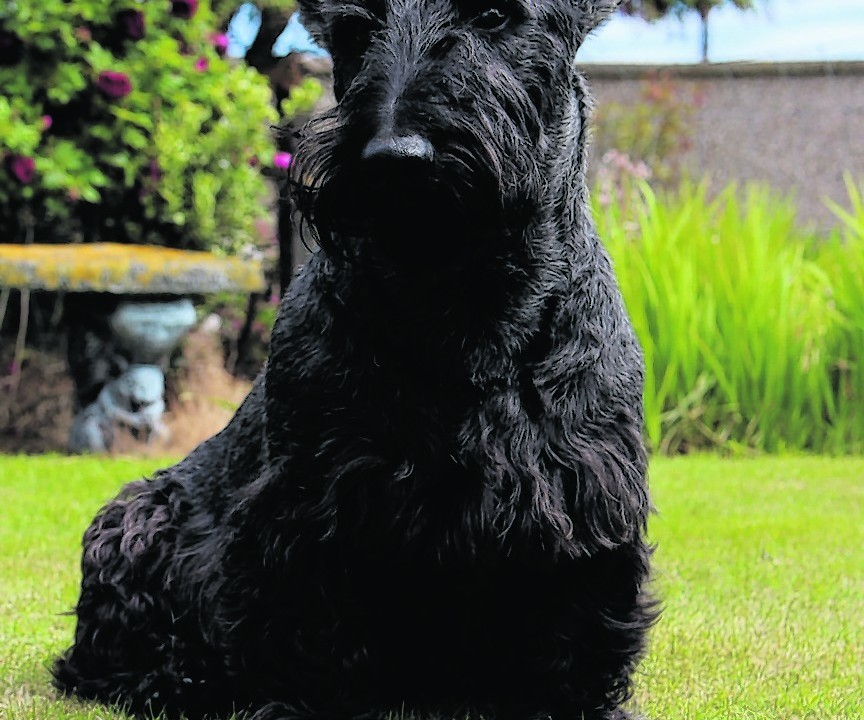 This is Rory the Scottie dog waiting to play fetch with his favourite tennis ball. He live with Mr and Mrs Taylor at Whitehills, Banffshire.