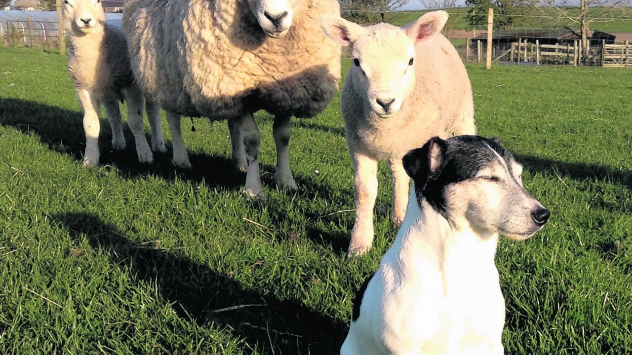 This is Tag the jack Russell with his friendly sheep. He lives with the Cooper family at Forebogs of Knaven, Maud.