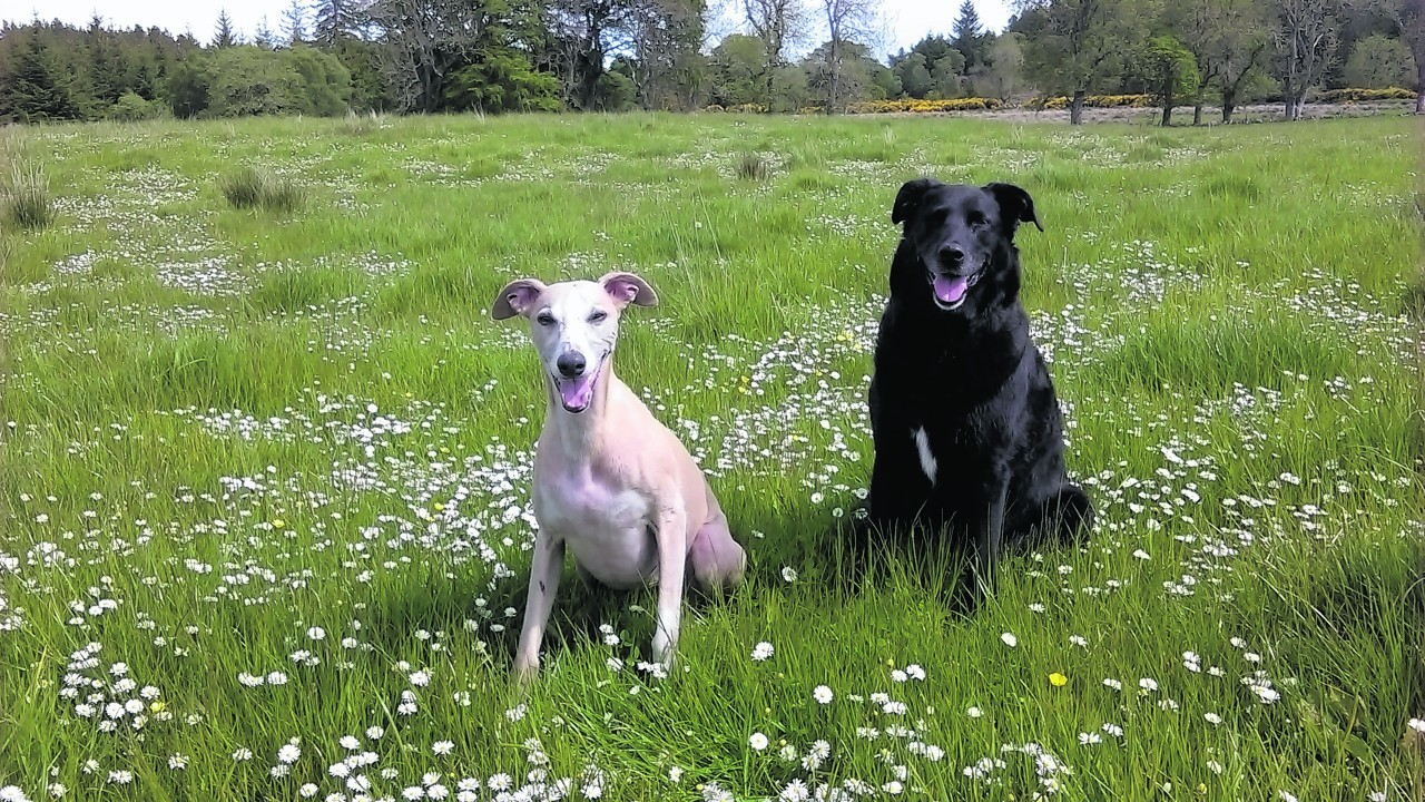 Collie / lab cross Holly and Harry the whippet live with Wendy Simmonds in Brora.
