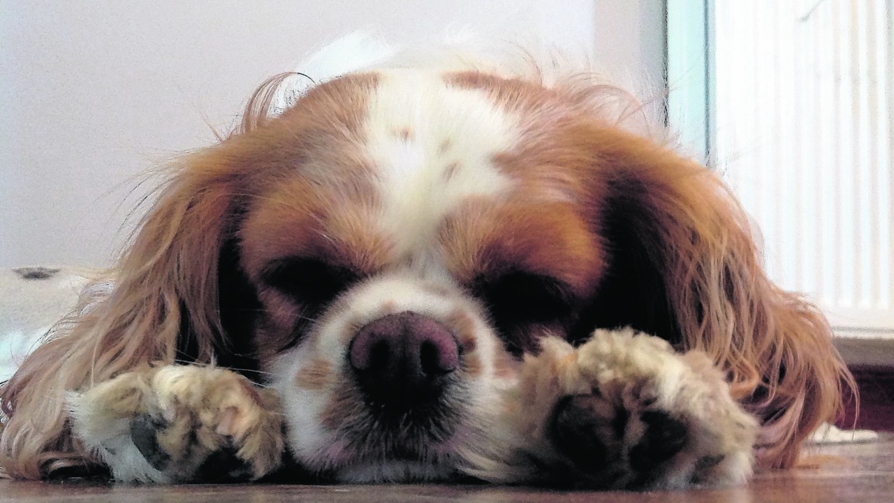 Isla the cavalier king Charles spaniel after a long walk. She lives with the Martin family at Glenview, St Katherine's.