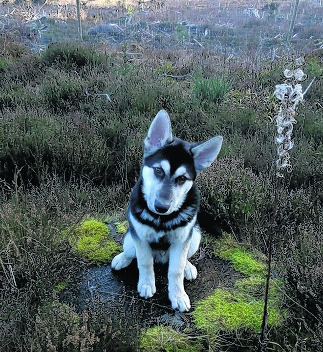 This is Kahn, a husky and German shepherd cross who lives with Janet Bhatti in Aberdeen and our winner this week.