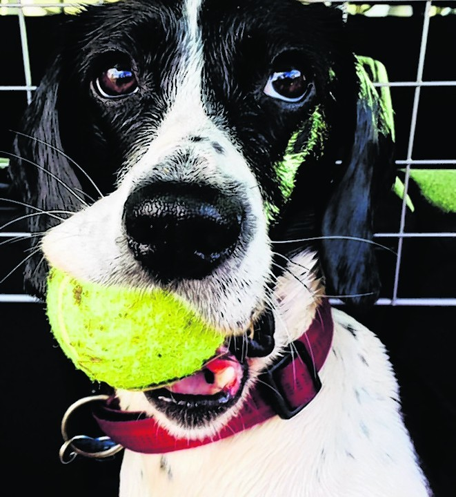 Miss Lexi Gibson is a big Flyball fan and loves a tennis ball. Lexi lives with the Comrie family in Bridge of Don.