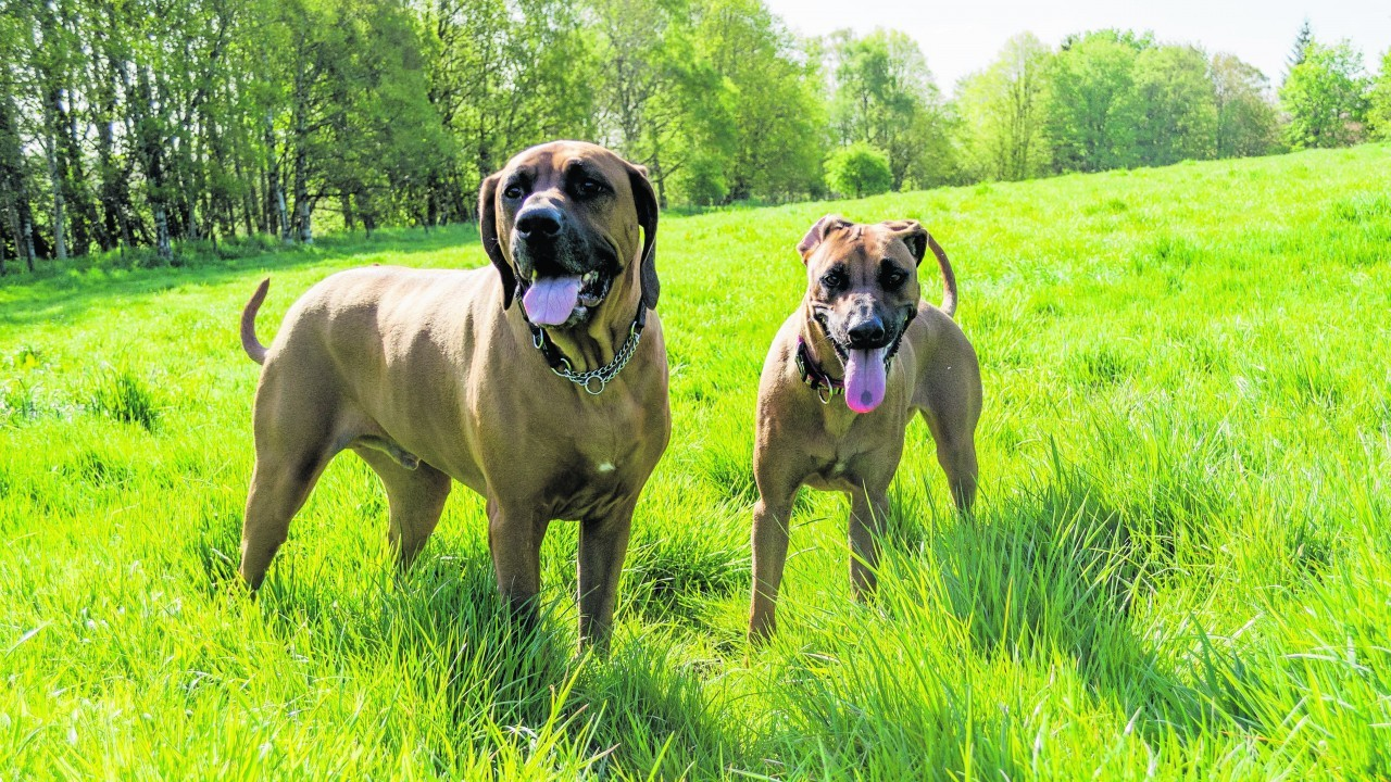 Meet Pig and Pixie, the Rhodesian Ridgebacks who live with Mandy Mitchell in Insch.