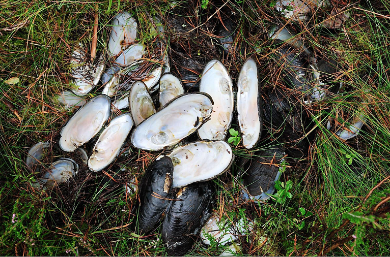 A number of endangered freshwater pearl mussels were removed from the River Spey