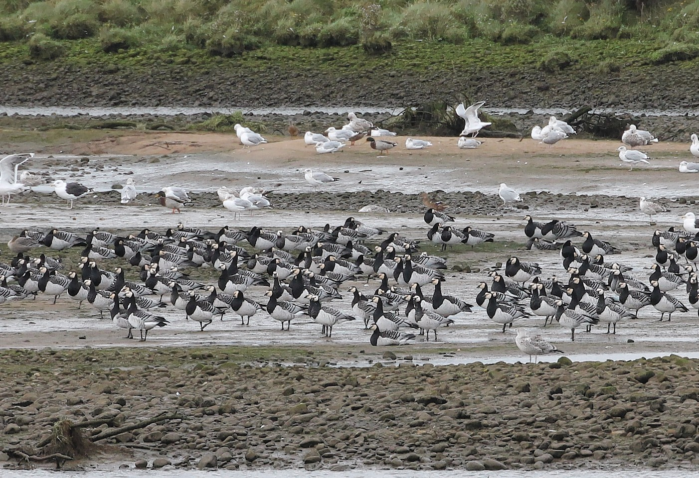 Barnacle Geese have arrived in record numbers
