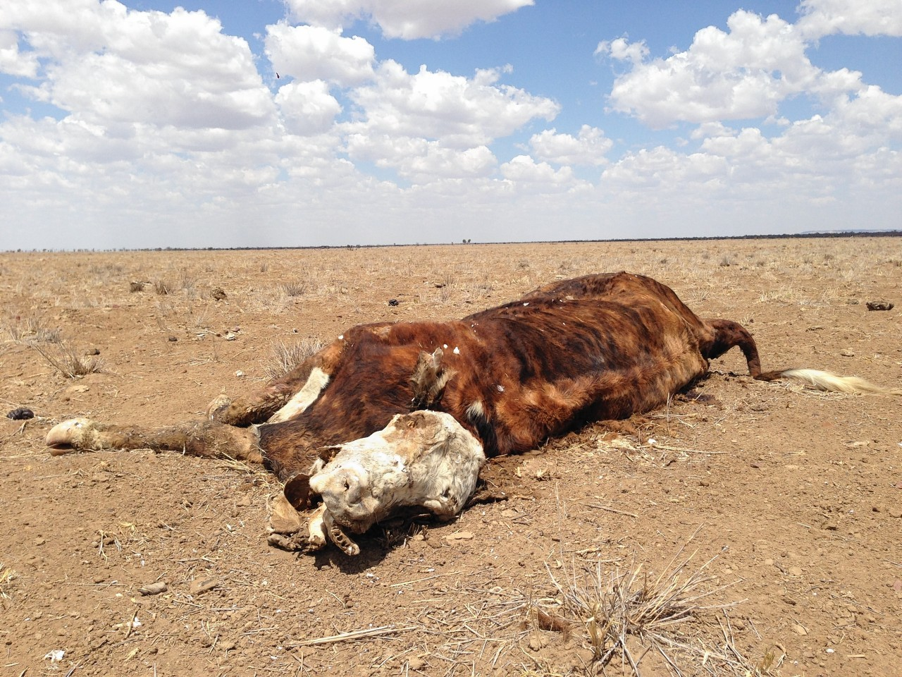 Cattle are struggling to survive the drought conditions