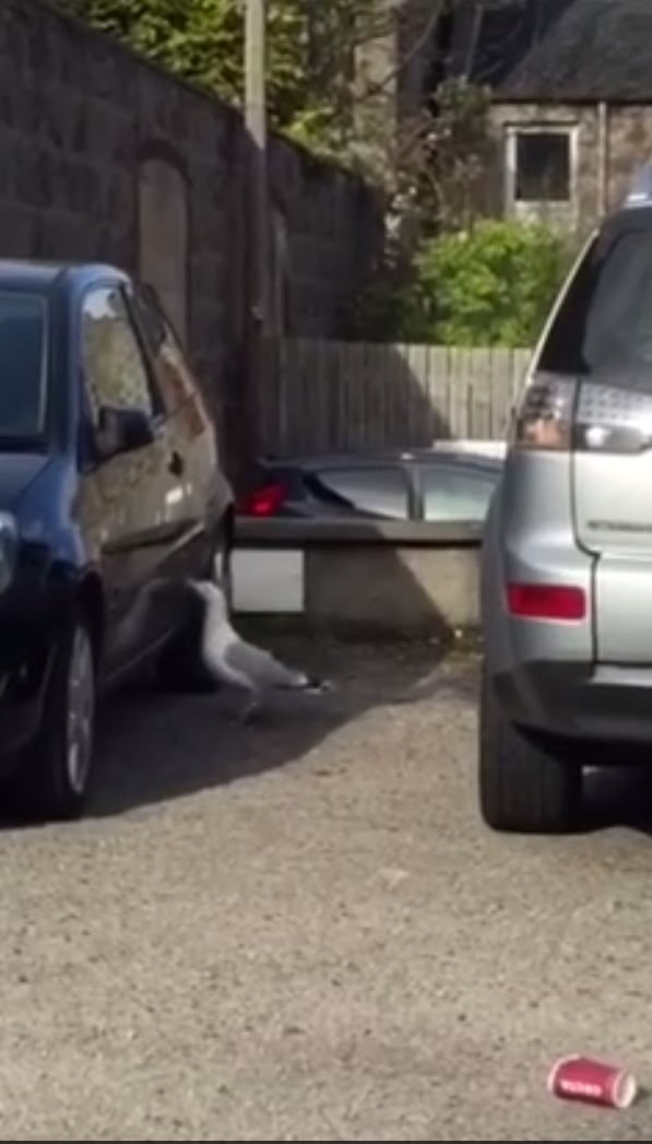 Gulls attack cars too