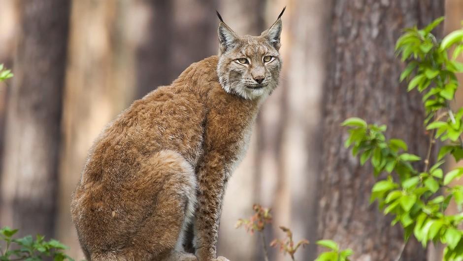 Eurasian lynx (Erwin van Maanen/PA)