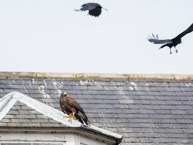 Hawks will be used to deter other birds from the site