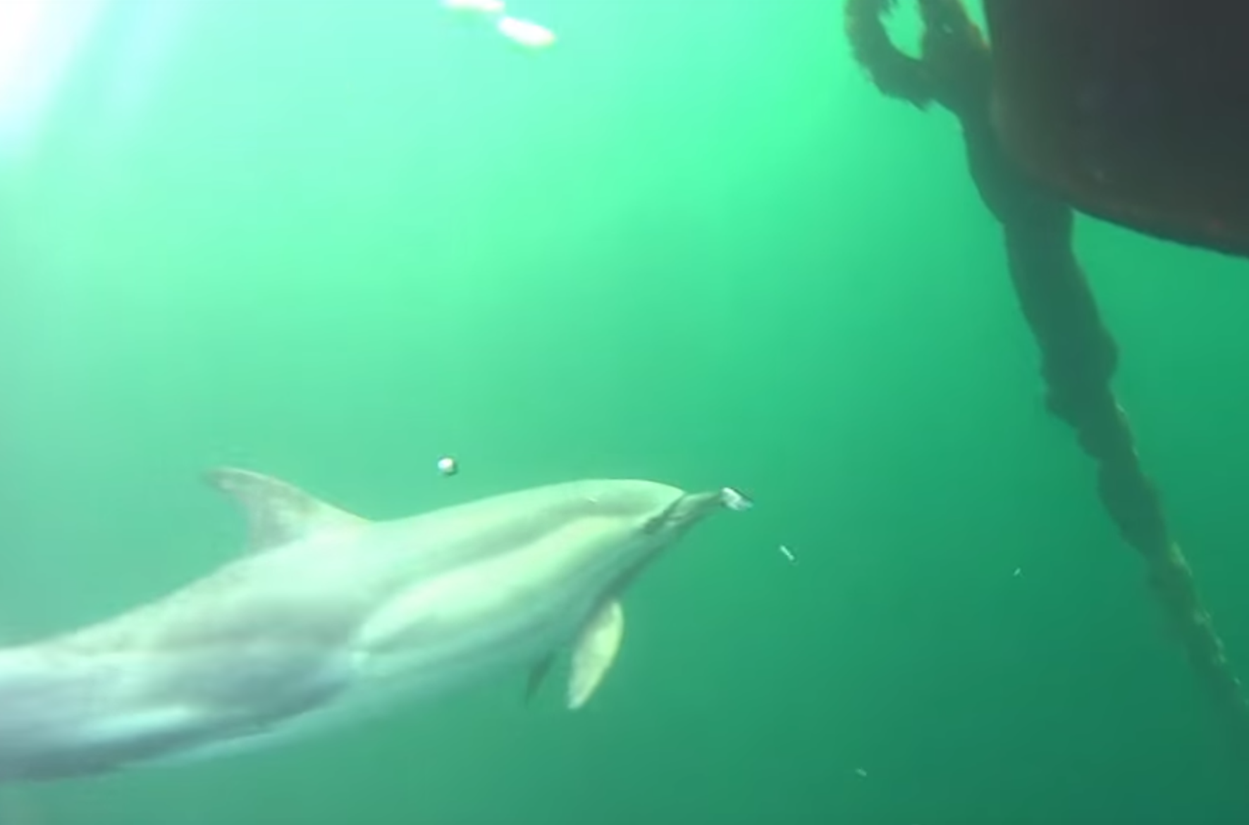 Divers go swimming with dolphins in Loch Fyne