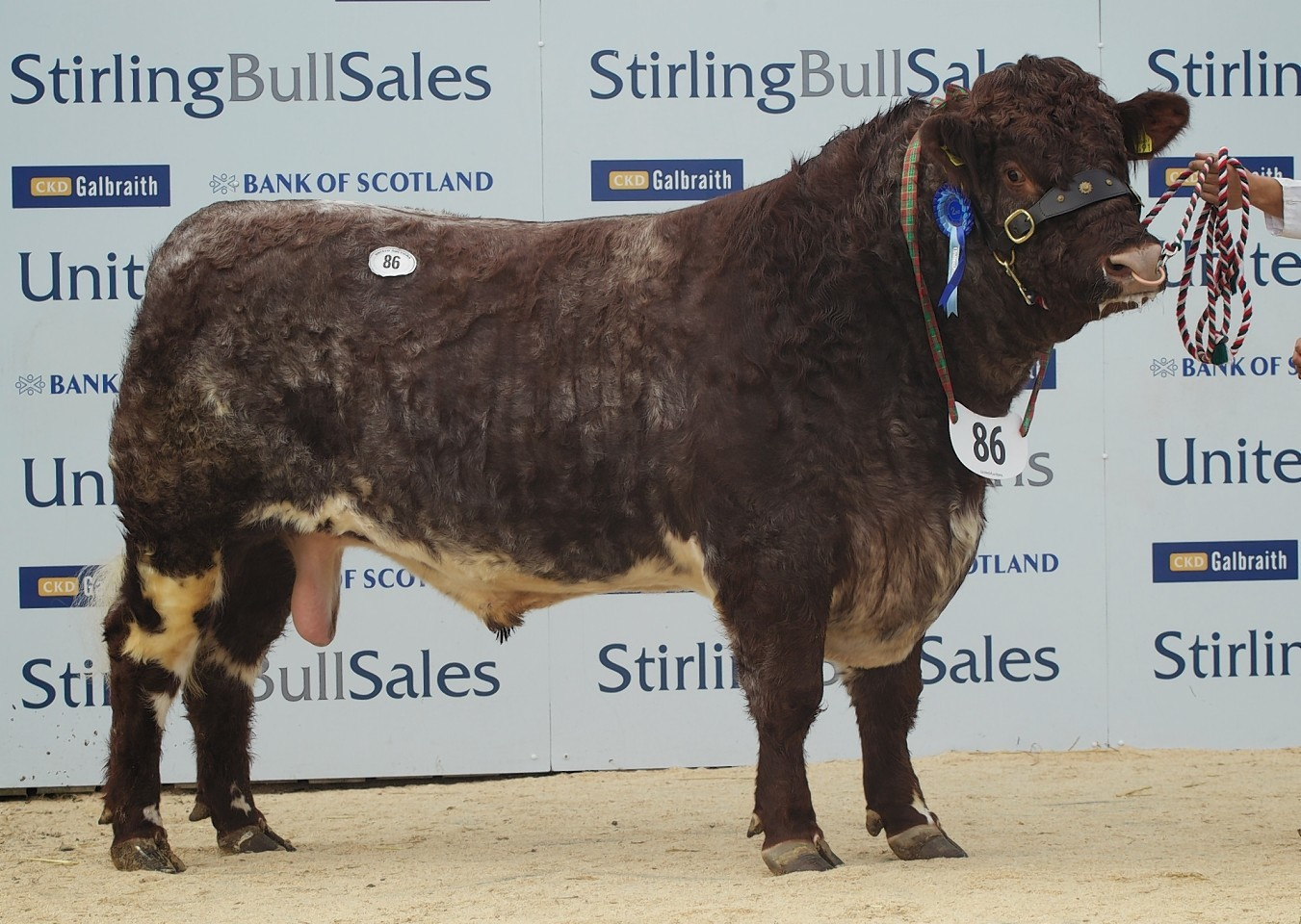 The Shorthorn bull sale topper at 5,500gn