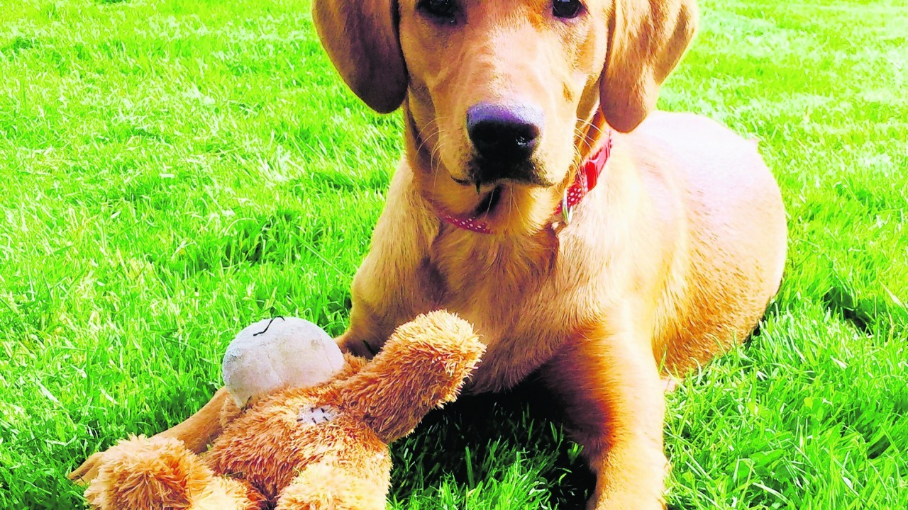 Brandy is a six month old fox red Labrador retriever who lives in Drumblade, Huntly.