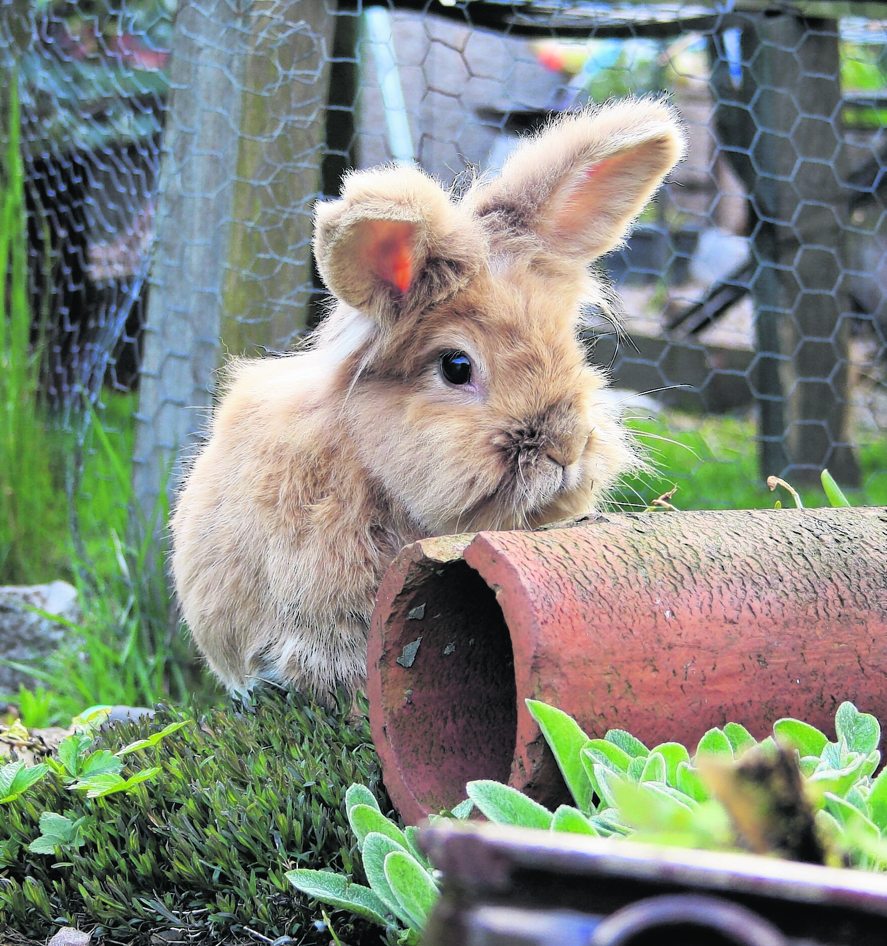 Dylan was a rescue rabbit and he has lived with the Scott family in New Pitsligo for five years. He loves eating all the newly planted flowers in the garden.  He is our winner this week.