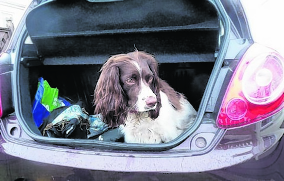 Rocco the springer spaniel from Ellon can't wait to get away in mum Gemma's car.
