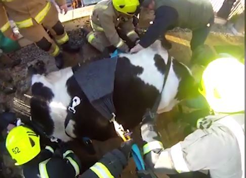 Fire crews rescue the cow