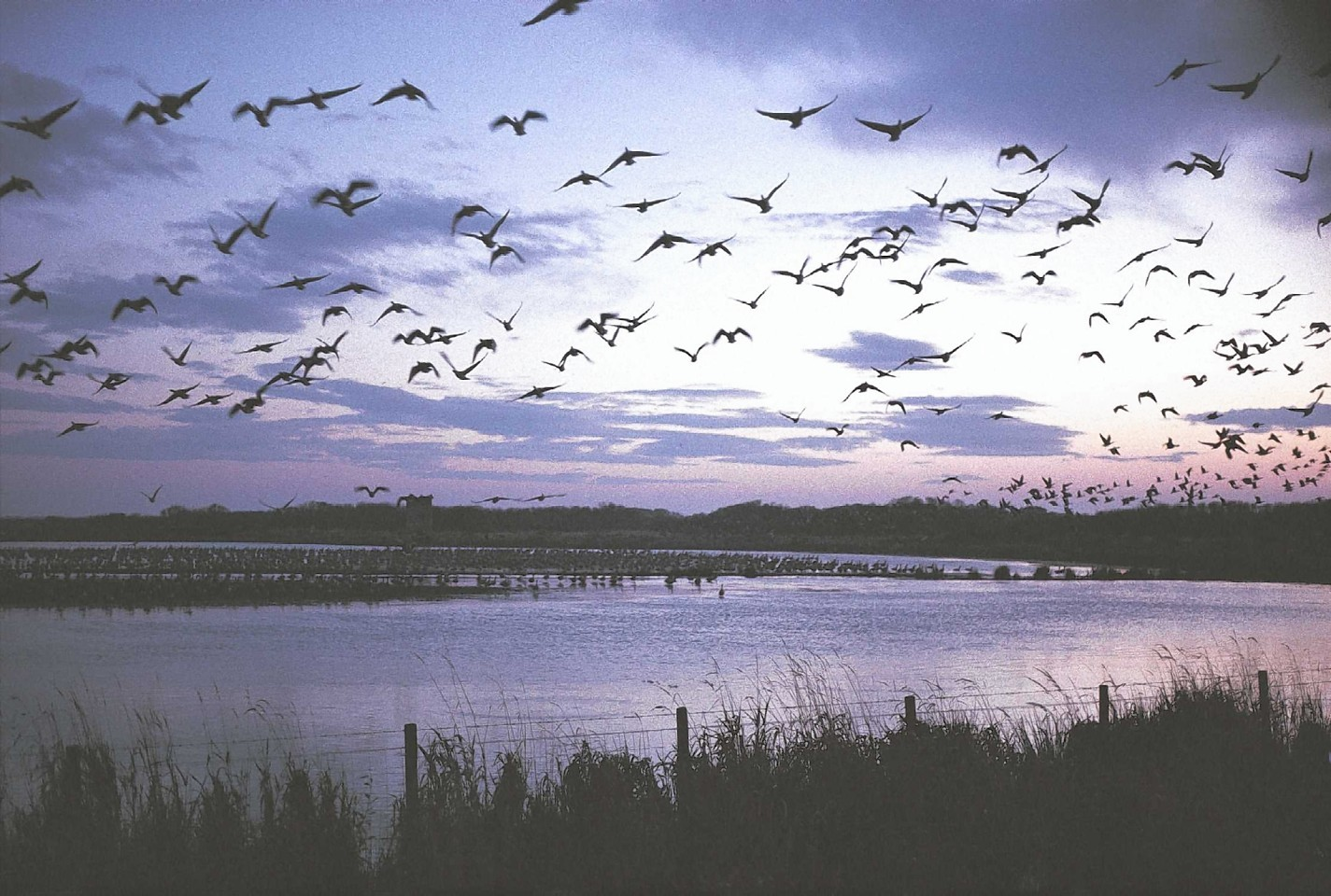 Pink-footed geese fly over the Loch of Strathbeg.