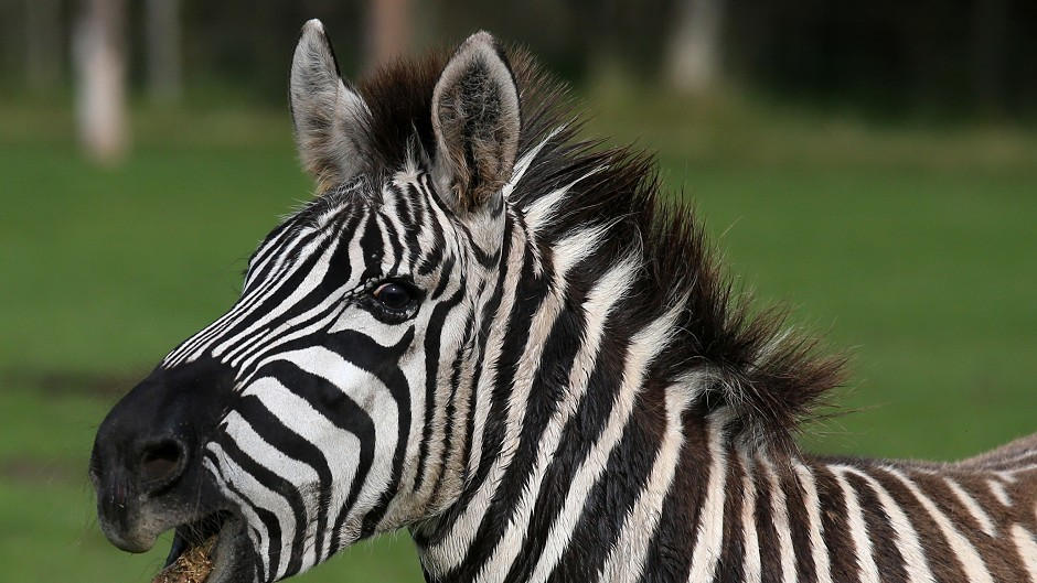 Zebras were among animals since rehoused.