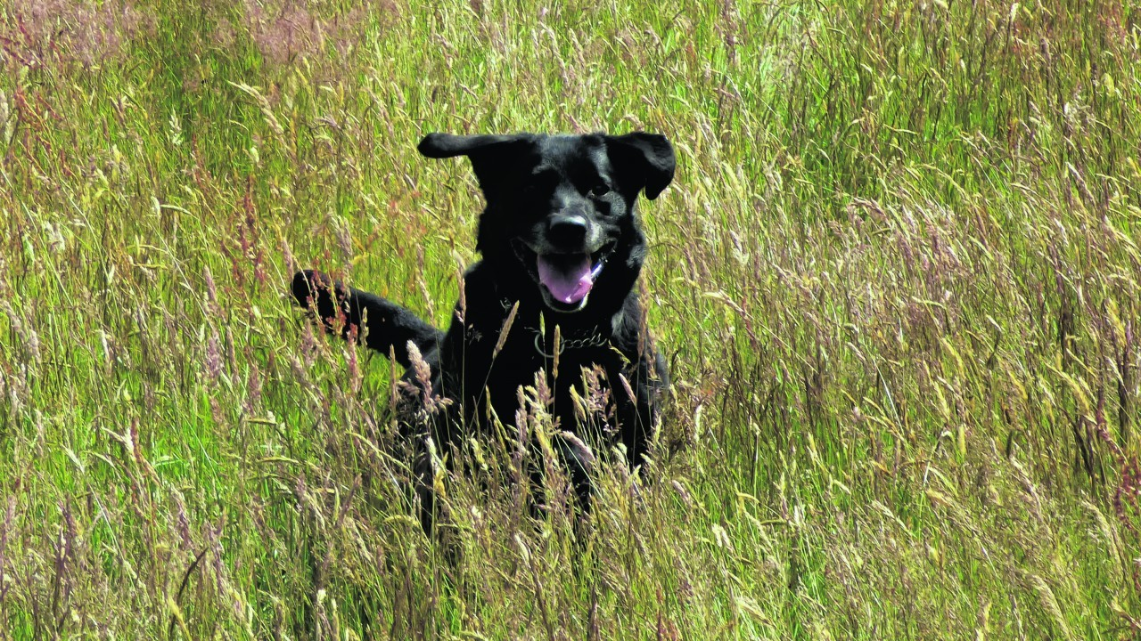This is Bugsy who loves running through the fields. He lives with  Val in Nairn.