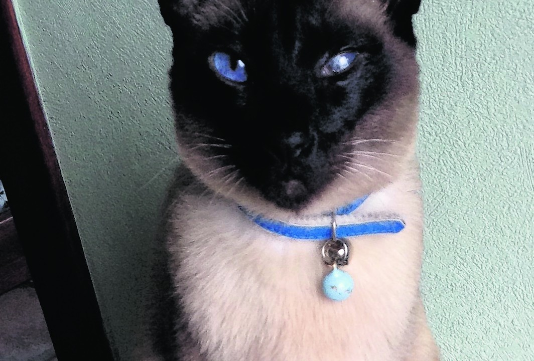 Here is the lovely nine-year-old chocolate point Siamese cat Chang, who is sadly is blind in one eye.