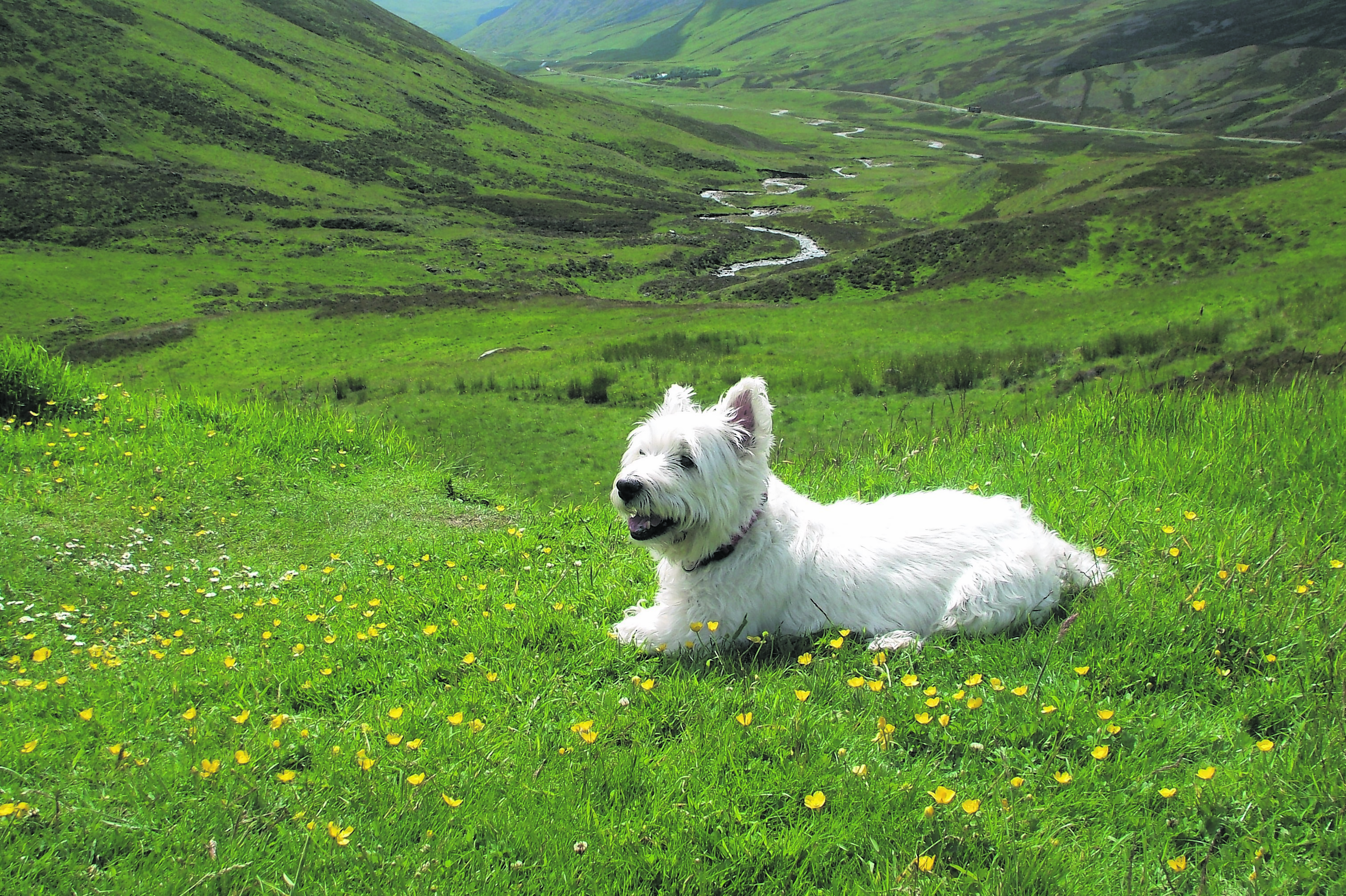 This is Barney the Westie at Glenshee.  He lives in Bridge of Don with the Law family.