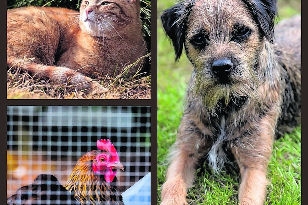 Chester the cat, Ghillie the border terrier and Madge the bantam all live with John and Catherine in Belhelvie.