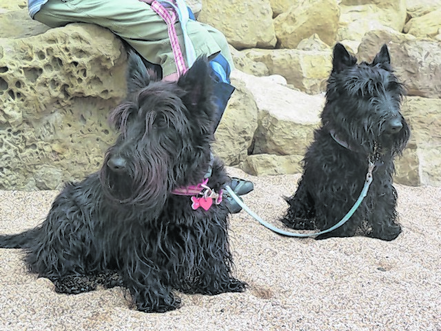 Scottie dogs Phoebe and Archie, belong to Ann and Alistair Gray from Huntly. Here they are pictured on Chesil Beach while on holiday in Dorset.