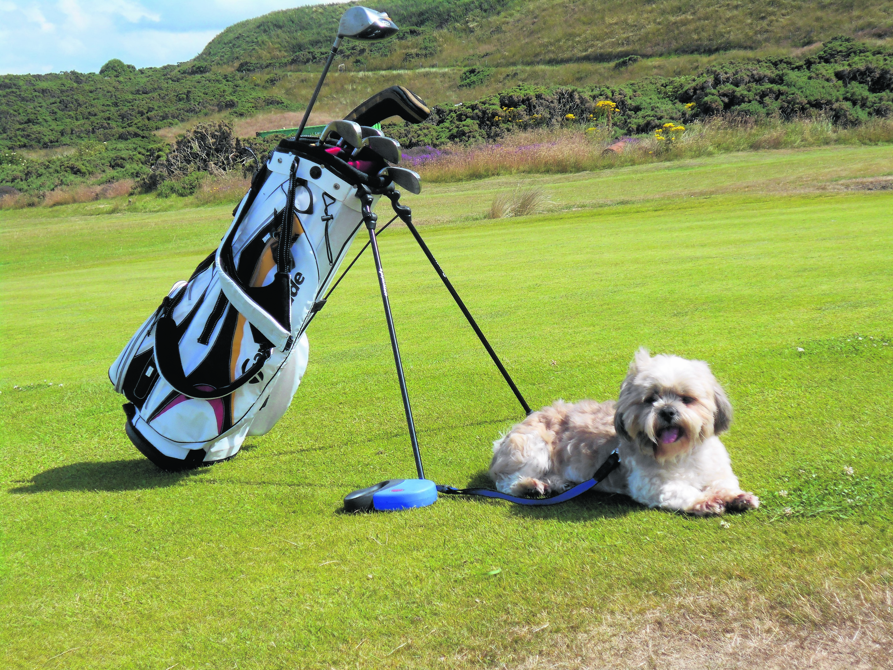 Here's Molly patiently walksing round the golf course at Covesea near Lossiemouth. She lives in Forres with Maggie and Norrie.
