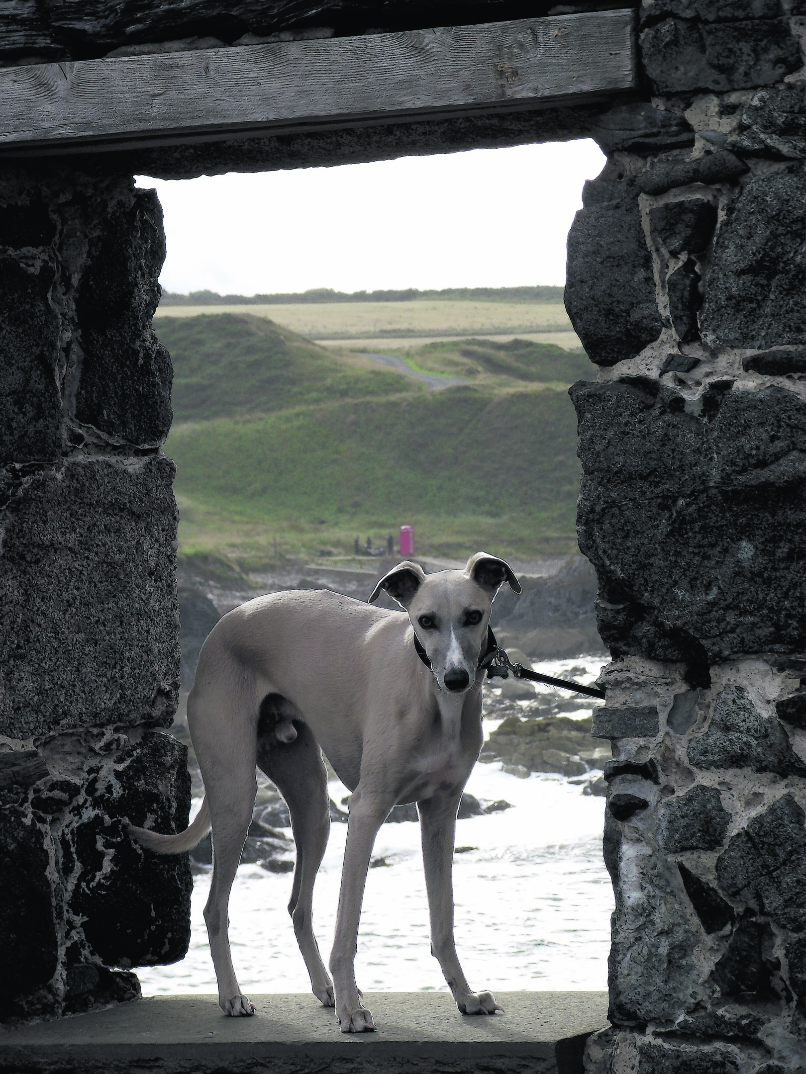 Alfie the whippet on a day visit to Portsoy to watch the filming of 'Whisky Galore'.  Alfie lives with the Robertsons at New Byth and is our winner this week.