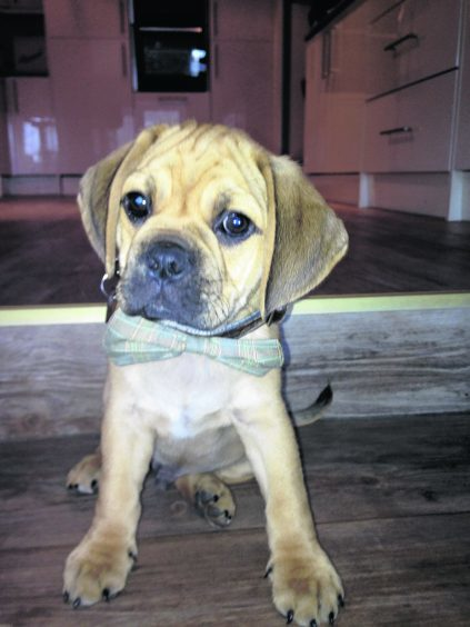 Baxter the Puggle who lives in Whitehills with the Aitchison family.
