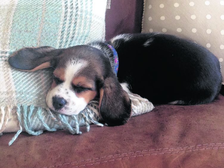 Cally the Beagle who lives in Whitehills with Sascha.